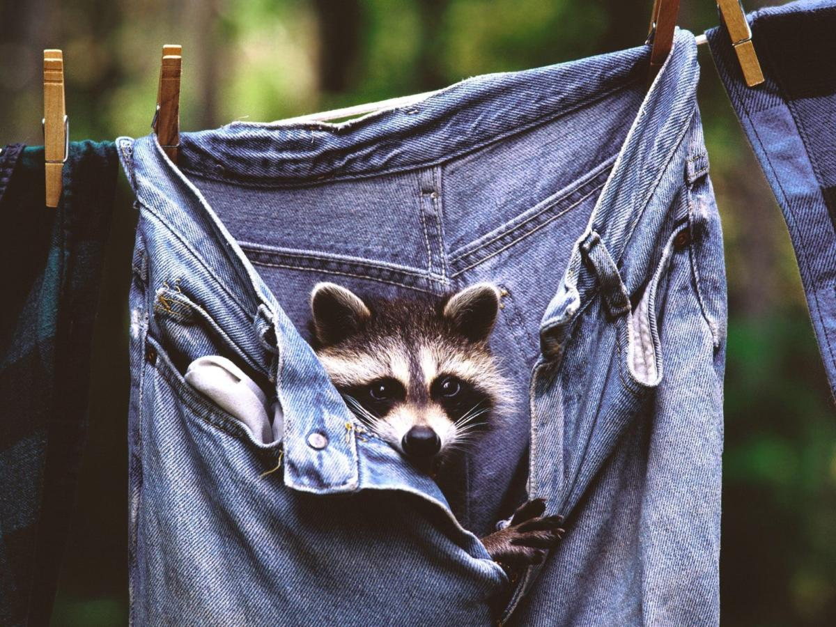 "This is our ""wildlife problem"" mascot photo. If you've got a raccoon in your jeans or another wildlife problem, let SF ROMP help you find a humane solution! Call our wildlife hotline at (415) 350-9453 (WILD)."